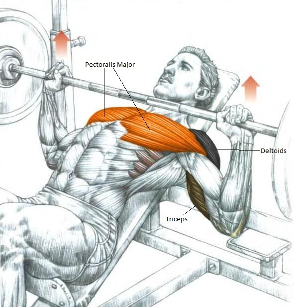 Terrific Bench Press Development By Learning What Muscle Are Lamtechconsult Wood Chair Design Ideas Lamtechconsultcom